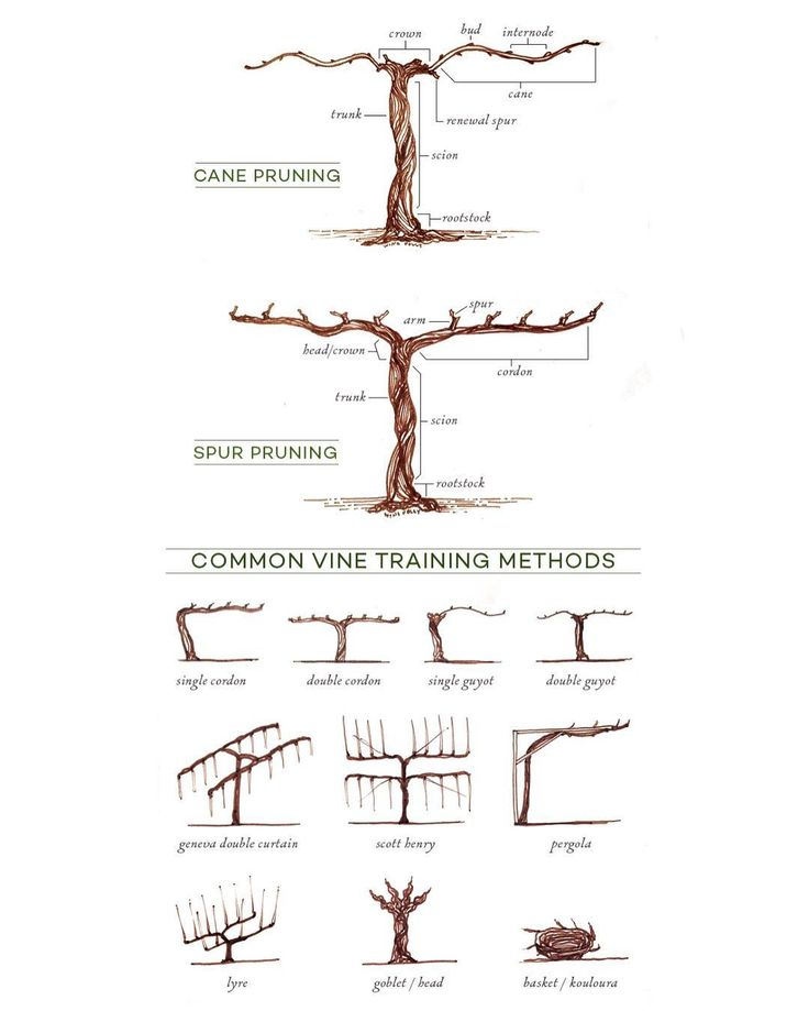 Common vine training methods