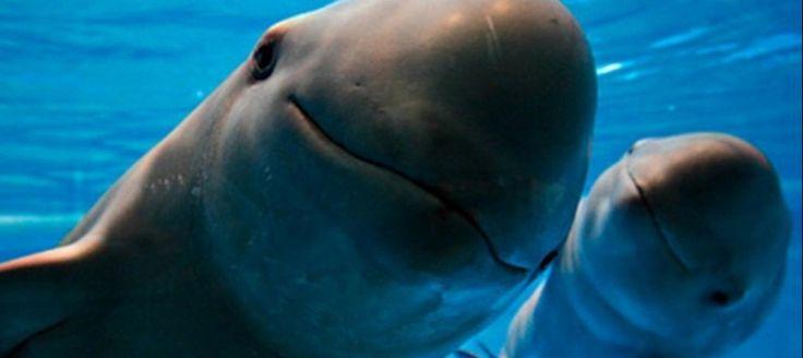 V Mexiku bojujú za záchranu morských kravičiek. Pomôcť im majú špeciálne vycvičené delfíny