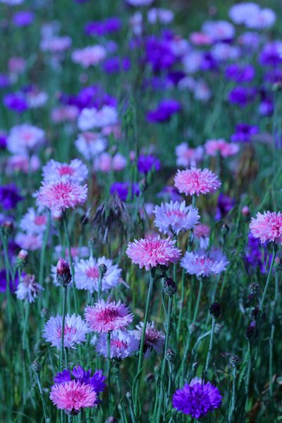 Bachelor buttons,or cornflowers are an extremely proficient self seeding wild flower in a variety of colors.I let them grow where they will in my yard and simply bunch them with twine to a small trellis or ornamental piece.They can be made into  a hedge with some urging <3