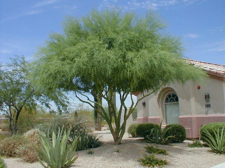 blue palo verde tree: fell in love with this tree in AZ ...