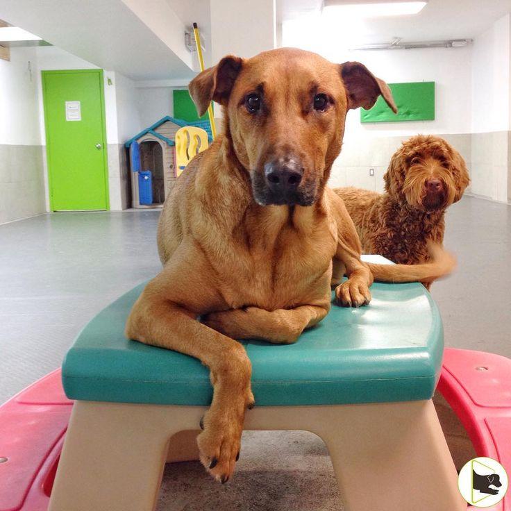 Wags, everybody's buddy, chillin' with his buddy Mokasin. #dog #mutt #labradoodle #bloorwest #doggiedaycare #toronto #welovedogs