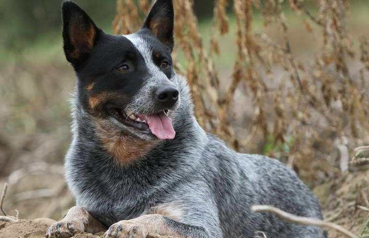 Cattle Dogs Colors Cattle Colors Rinderhunde Farben Couleurs