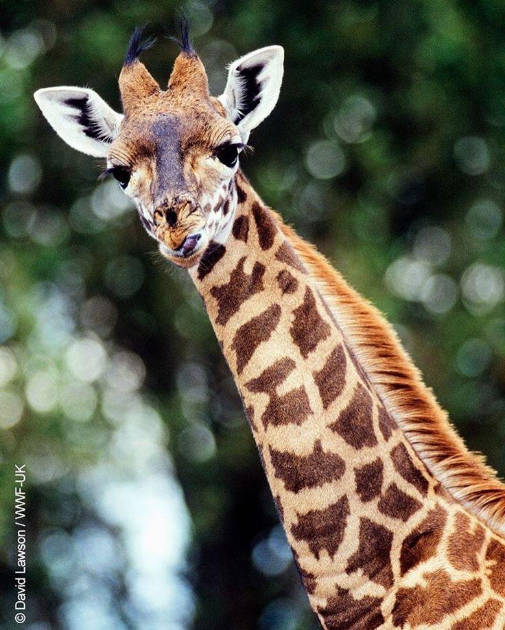 """Zürafalar tehlikede!  Dünyanın en uzun kara memelisi zürafalar artık Uluslararası Doğa Koruma Birliği (IUCN) Kırmızı Listesi'nde """"Duyarlı (VU)"""" statüsünde yer alıyor. Biyologlar zürafaların neslinin 'sessizce tükendiğini' söylüyor. 1985 yılından beri doğadaki zürafa sayısı yaklaşık %40 azaldı. Nedeni: Habitat kaybı ve yasadışı avcılık.  #giraffe #wwf #wwf_turkiye"""