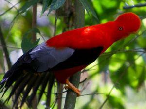 Fauna de la selva peruana - El gallito de las rocas