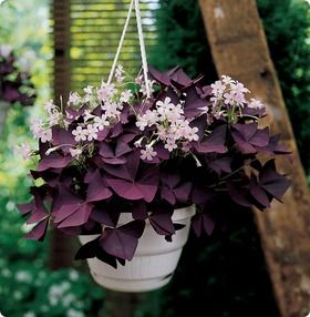 purple shamrock guide to house plants - Flowering House Plants Purple