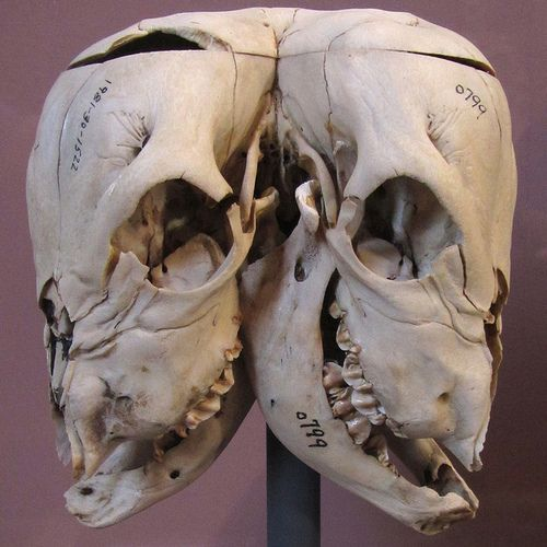 A two-headed calf skull