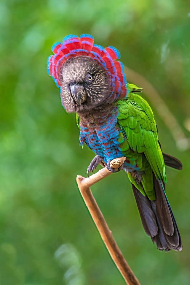 Red Fan Parrot Deroptyus Accipitrinus Also Known As The Hawk