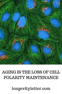 Cell polarity and aging