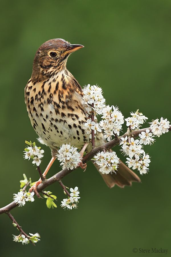 The Song Thrush (Turdus philomelos) is a thrush that breeds across much of Eurasia. The Song Thrush breeds in forests, gardens and parks, and is partially migratory with many birds wintering in southern Europe, North Africa and the Middle East; it has also been introduced into New Zealand and Australia. by Steve Mackay