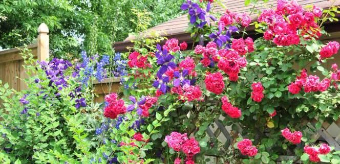 John Cabot Rose with Jackmanni Clematis and Blue Delphiniums :)