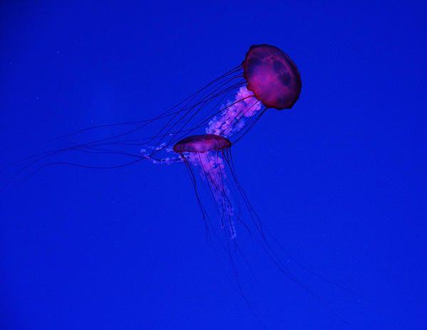 The Dance Of The Jellyfish - Ripley's Aquarium Toronto Ontario