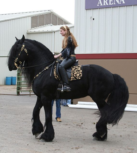 Want some medieval tack for when Black gets bigger..still a lot of growing to do.  This Friesian is Beautiful!