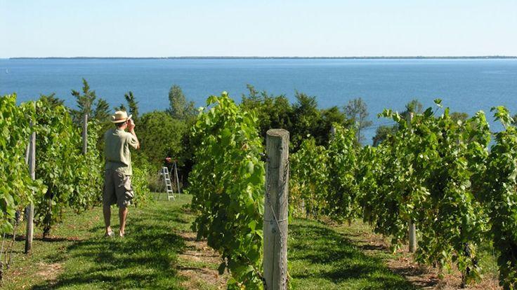 Waupoos :: Vineyards overlooking Prince Edward Bay