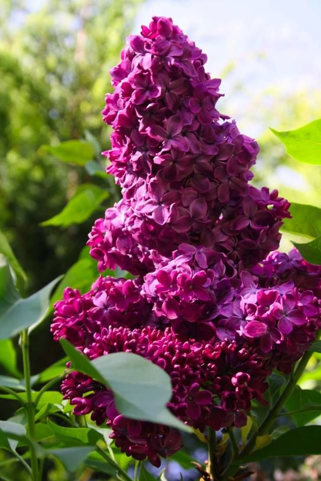 Ceanothus 'Pacific Blue' ~ California Mountain Lilac