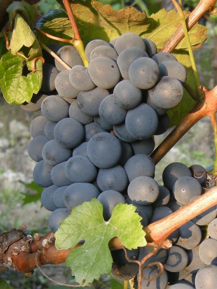 grapes from Tacchino Raffaele's wineyards