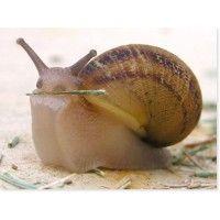 Что такое улиточный секрет, как его получают  и почему улиточная слизь так эффективна?