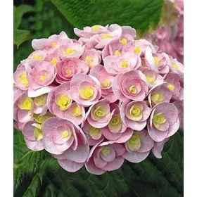 Perfect Hortensie uLove u Pflanze g nstig online kaufen MEIN SCH NER GARTEN