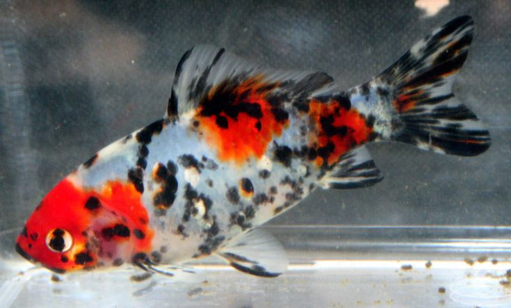 Calico patterned common goldfish goldfish pinterest for Koi 9 en israel