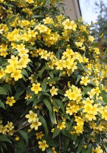 O jasmim-amarelo (Jasminum mesnyi) É uma planta rústica, tolerante ao vento e que precisa de sol para florescer #garden #flowers