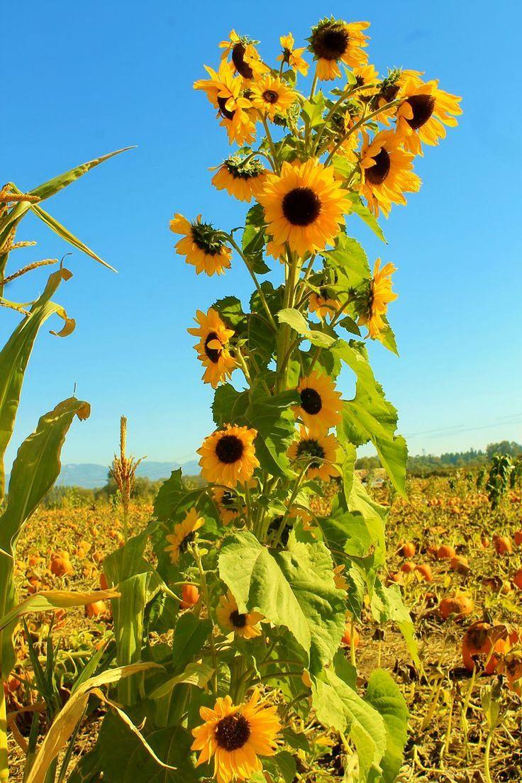 Best 25+ Sunflower Garden Ideas On Pinterest