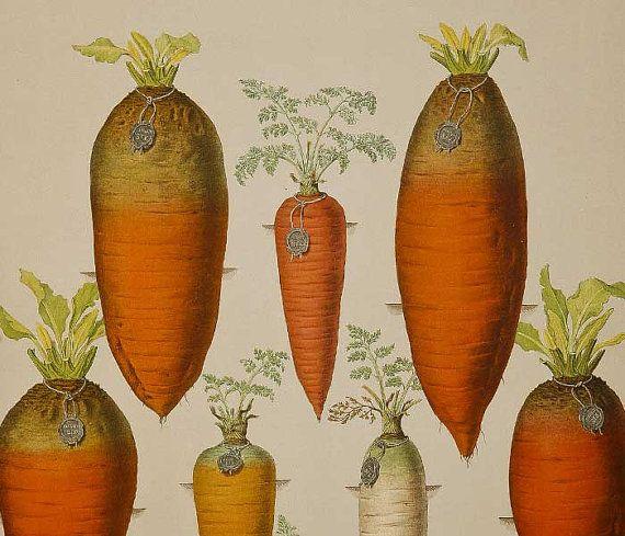 Antique vintage carrot gravure botanical science print by metroart