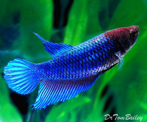 115 best images about bettas on pinterest copper for Pictures of female betta fish
