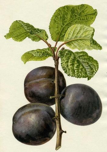 Antique botanical illustration of plum