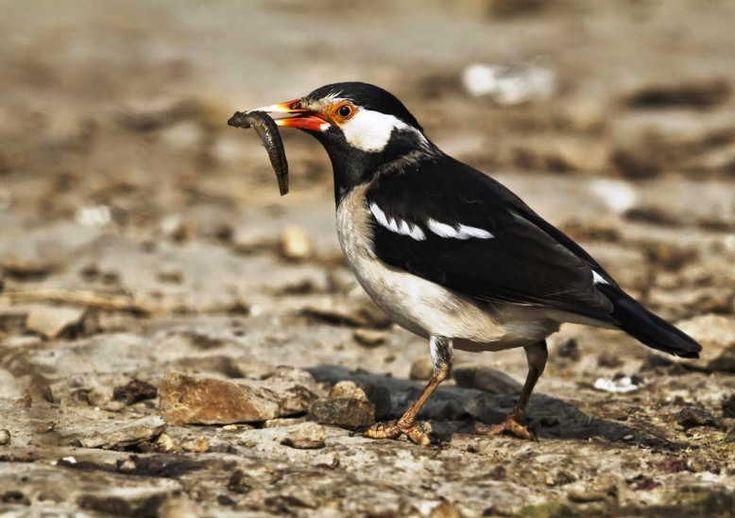 Burung Jalak Suren Sturnus Contra