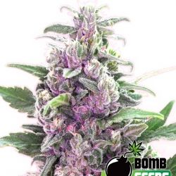 Cheap Cannabis Seeds Bomb Seeds THC Bomb Feminised Cannabis Seeds