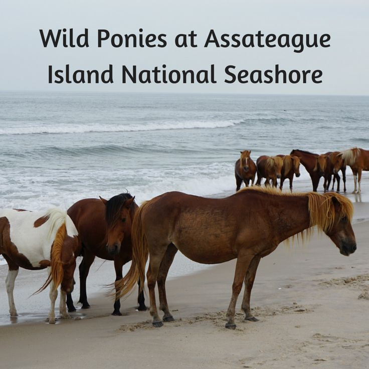 See Wild Ponies at Assateague Island National Seashore - Tips For Family Trips