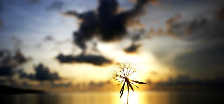 Dandelion and sun rise. Taken in Karimun Java - Indonesia #sun rise , #photography