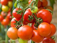 Jak pěstovat rajčata na záhoně a ve skleníku?