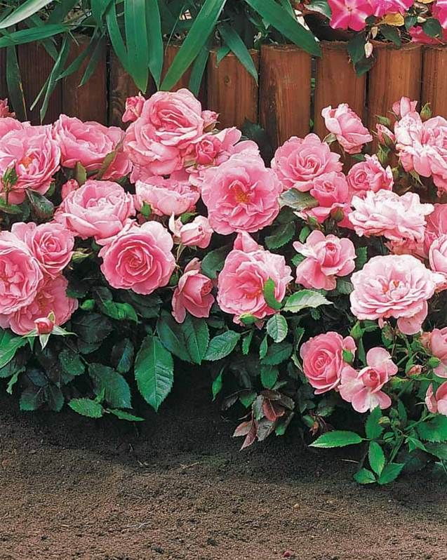 3 Minirosiers Randilla roses Mini rosier, Rosier et