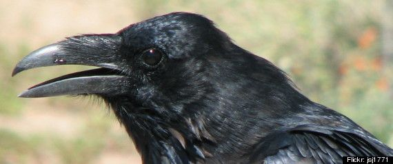 crow | Crow Intelligence Study Suggests The Birds Have 'Theory Of Mind'