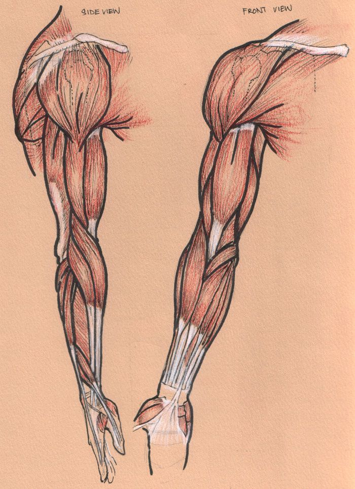23 best images about character anatomy | muscles on pinterest, Muscles