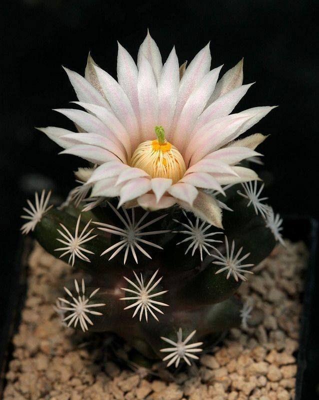 Kaktus * Escobaria abdita