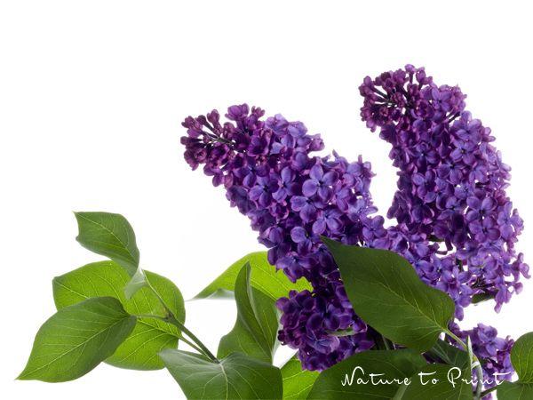 Blumenbild-Kunstdruck und Leinwandbild lila Flieder auf Weiß