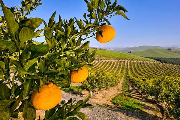 The Dekopon arrives in California:  A consortium of growers secretly began harvesting the flavorful fruit, which originated in Japan. It is being marketed here under the name Sumo.