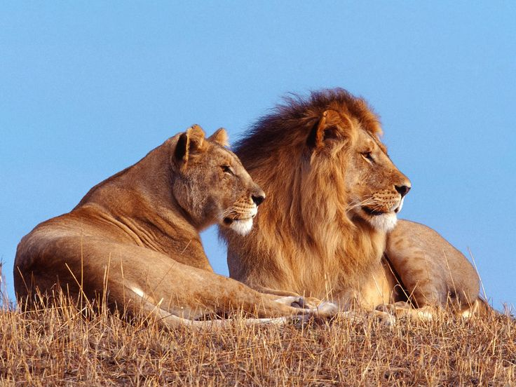 Different Types Of Lions