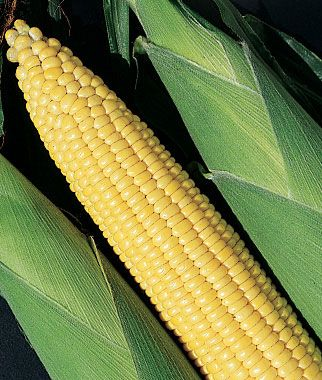 Good Corn, Early And Often Hybrid