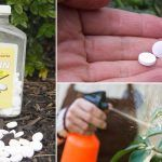 Aspirin Therapy: Aspirin Uses In The Garden For Most Productive & Healthy Plants