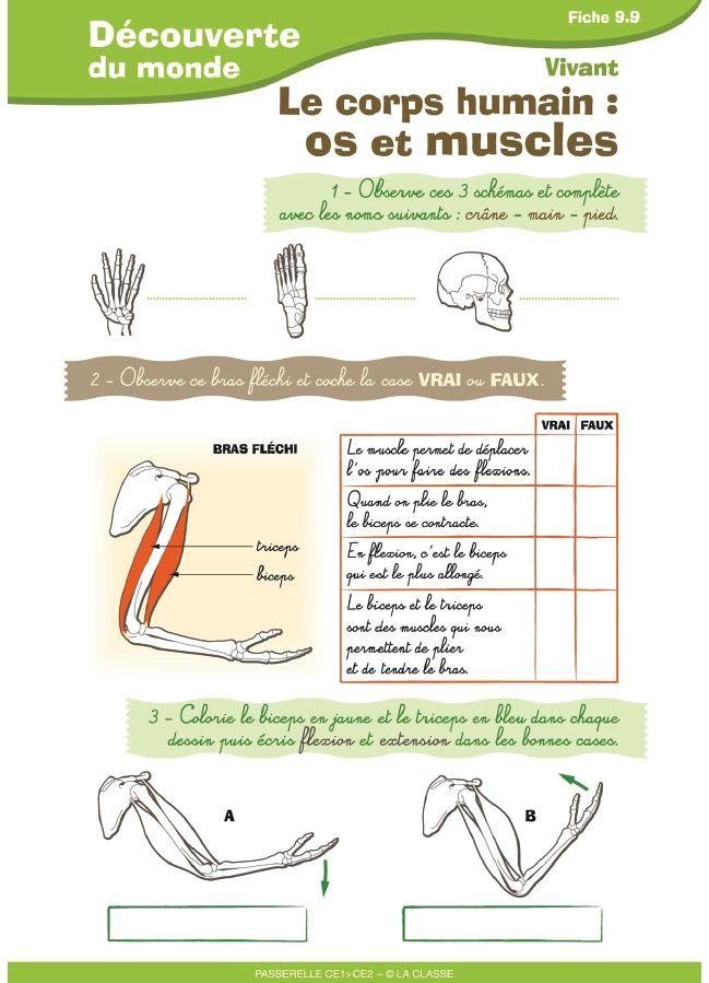 3 fiches destinées aux élèves de CE1 - CE2 pour aborder le corps humain, les os et la respiration.