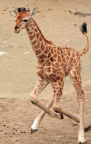 Rothschild giraffe at Ouwehand Zoo in Utrecht, The Netherlands - photo by j.a.kok, via Flickr