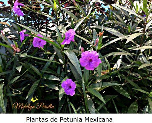 """La Petunia Mexicana es una planta que se multiplica con mucha rápidez, con apariencia de """"maleza"""" y con coloridas flores. La más común es la color violeta. Su nombre científico es Ruellia brittoniana."""