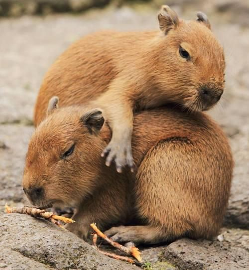 R Guinea Pigs Rodents capybarasoncrit...