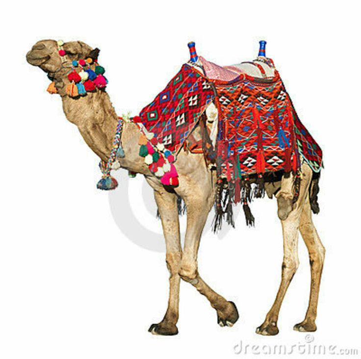 camels with saddle | camel with a colorful, traditional saddle. White background.