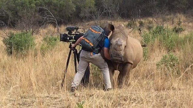 A cheeky rhino came up to cameraman Garth de Bruno Austin for a belly rub.   Garth have been lucky enough to film this rhino for quite a few years for my rhino poaching documentary 'Disunity' and because of that have built up a level of trust
