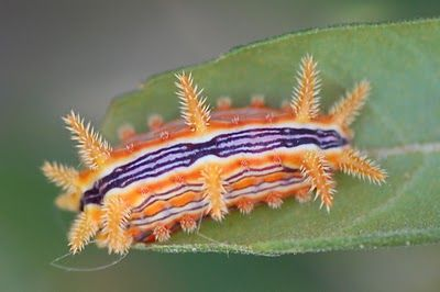 The Stinging Rose Caterpillar - looks like he's a Clemson or LSU fan!