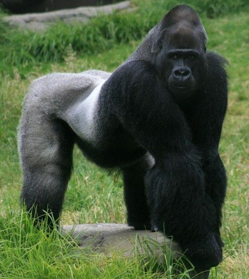 Gorilla standing up - photo#22