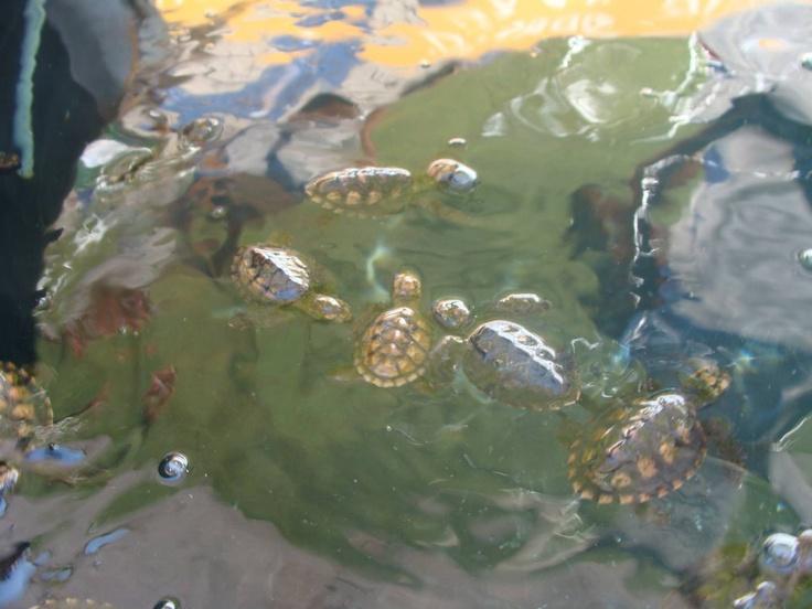 Protegen anidación de tortugas marinas en Progreso